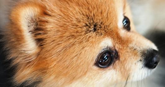 foxy-dog